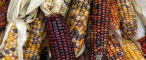 Corn at USFM