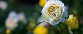 White and yellow roses at Pardee Rose Garden