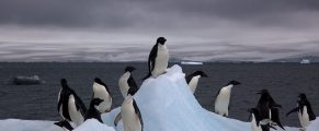 Adelie penguins in Antarctica (photo by Jason Auch)